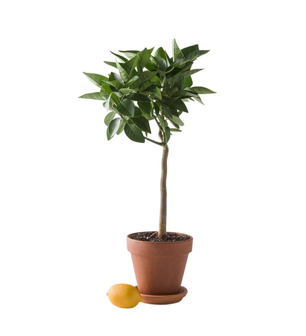 Potted Citrus Tree - Lemon