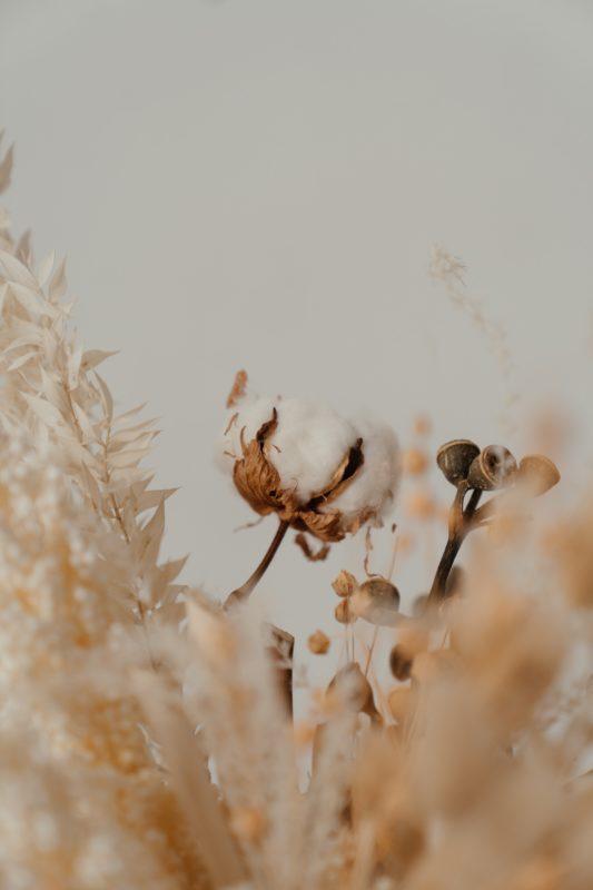 cotton blossom in a field
