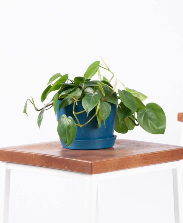 a philodendron in a blue pot