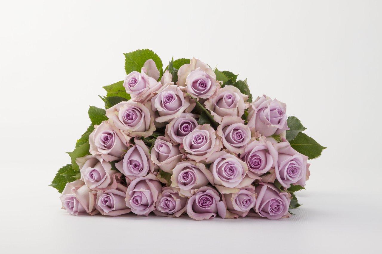 Lavender Ocean Song Rose